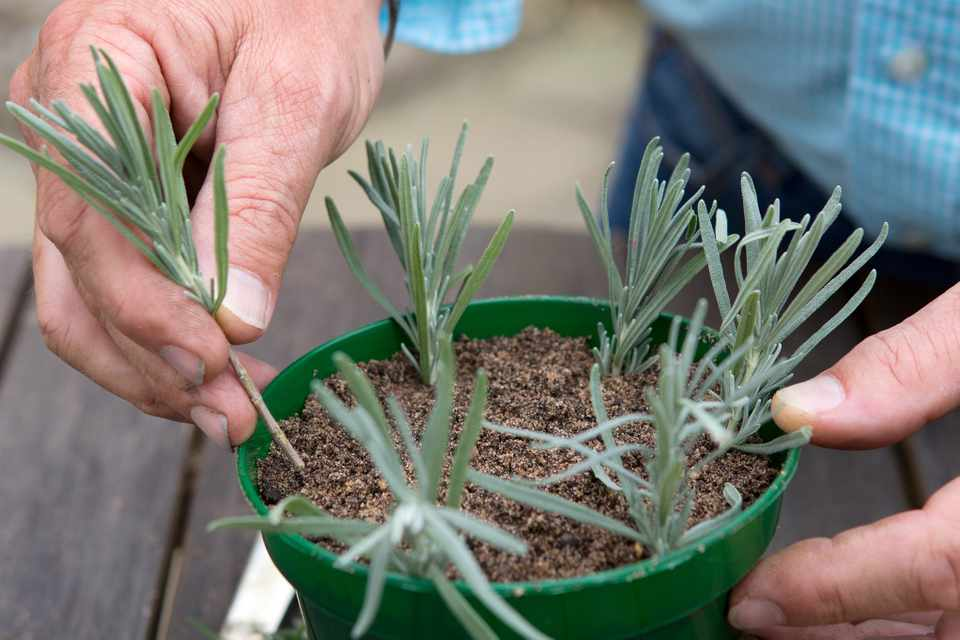 How to Take Lavender Cuttings - BBC Gardeners' World Magazine