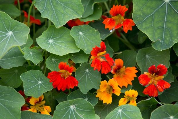 Bright orange nasturtium flowers and leaves
