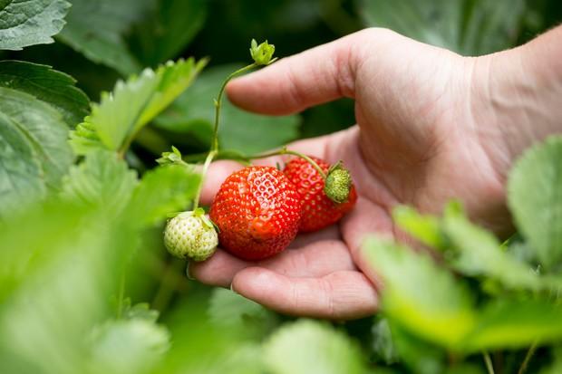 ripe-strawberries-3