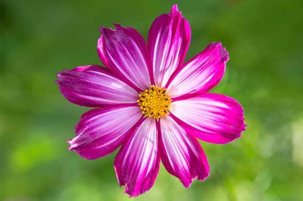 pink-single-flowered-cosmos-2