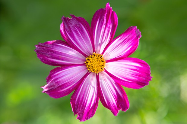 A single, pink cosmos flower