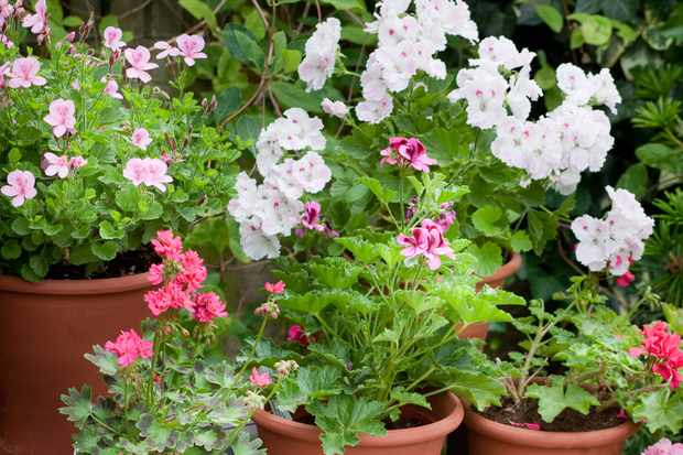 Scented-leaf pelargoniums