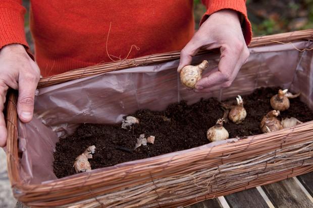planting-daffodil-bulbs-in-a-window-box-2
