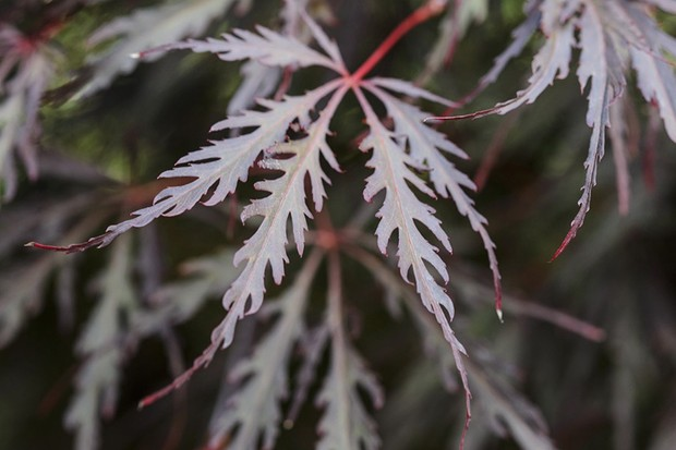 My potted acer keeps dying - why?