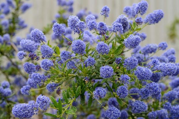 Masses of blue ceanothus flowers