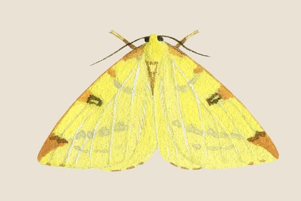 Illustration of a pale yellow brimstone moth