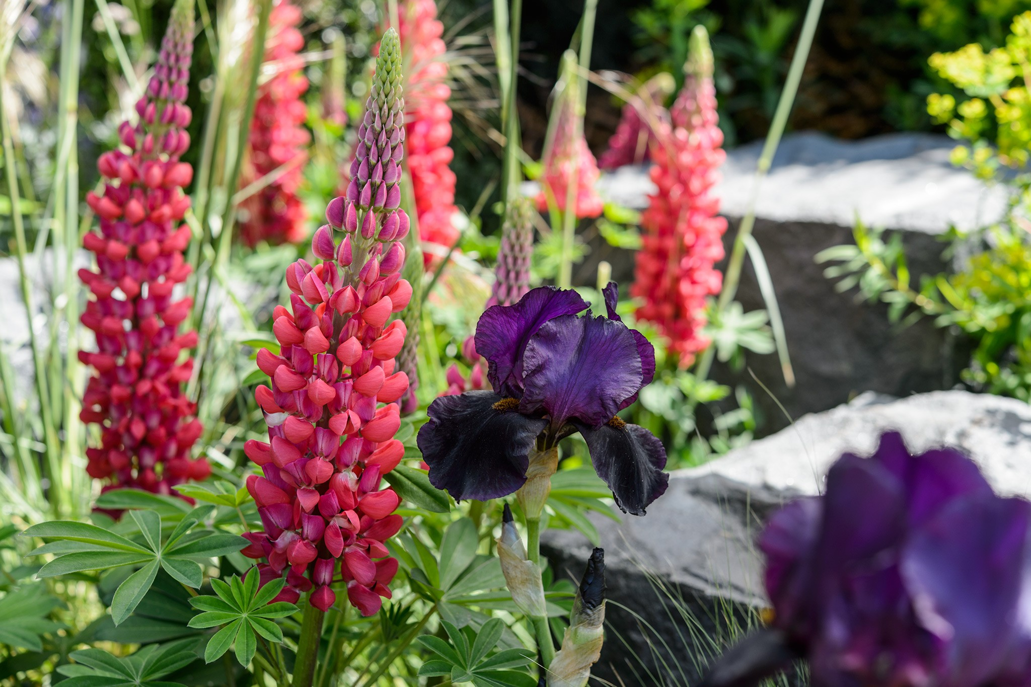Lupinus 'Gallery Red' - red lupin