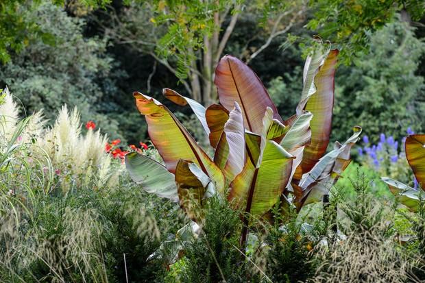 ensete-ventricosum-maurelii-3