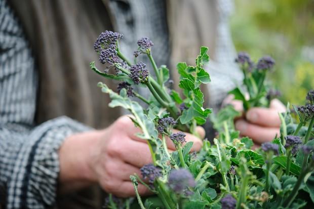 Harvesting purple-sprouting brocolli