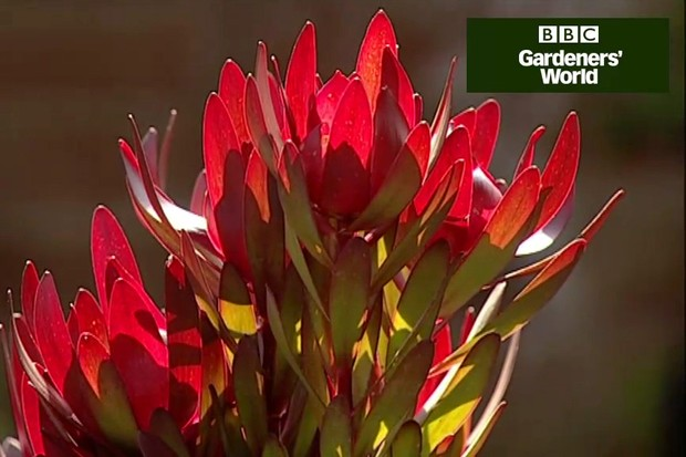 How to grow proteas
