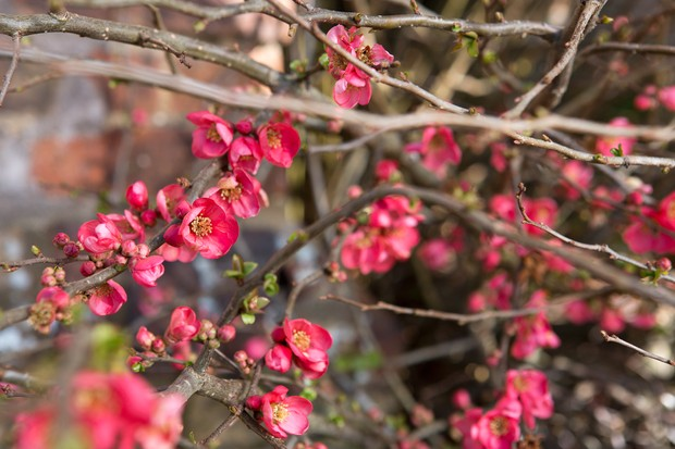 japanese-quince-chaenomeles-japonica-5