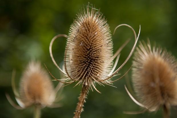 teasel-seedheads-2