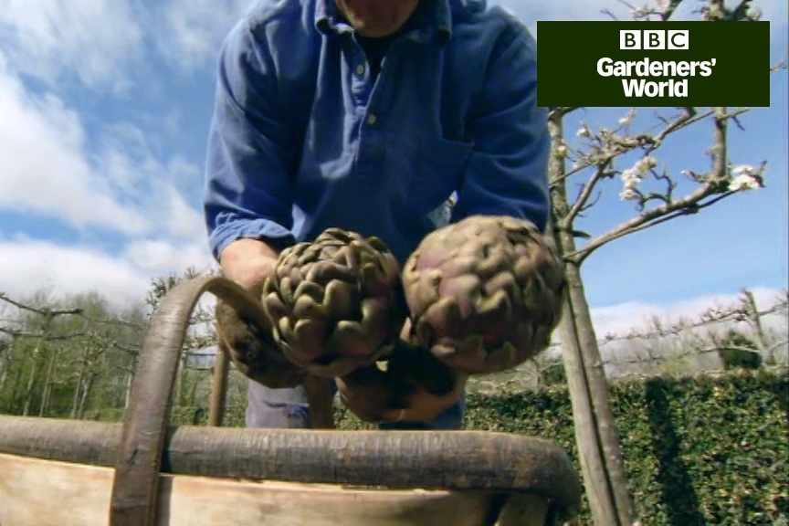 How to plant globe artichokes