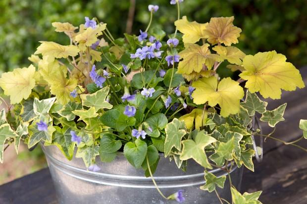 Heuchera, violas and ivy growing in a metal bucket