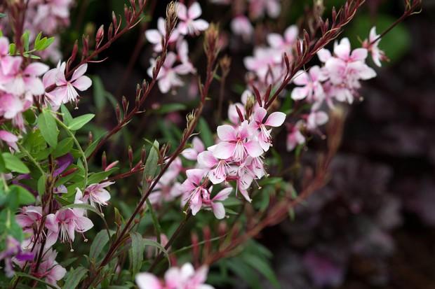 gaura-passionate-pink-2