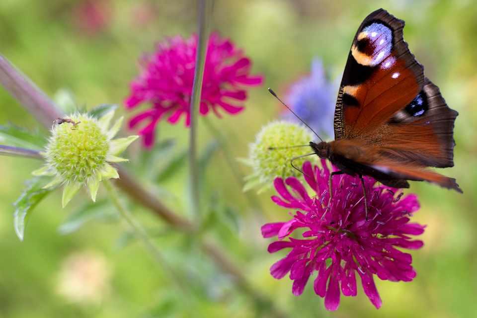 Peacock butterfly on knautia
