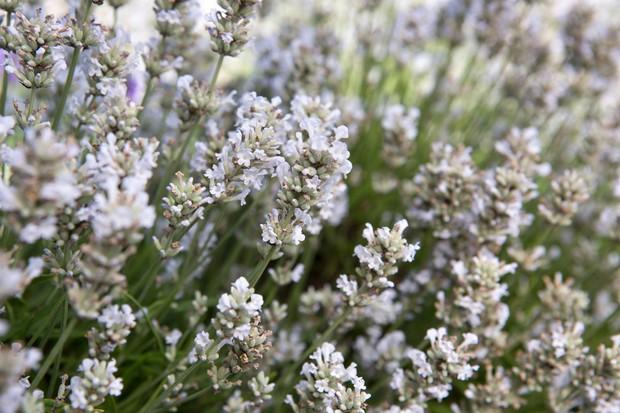 lavandula-angustifolia-nana-alba-2