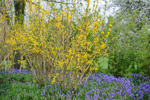 Forsythia flowering vivid yellow