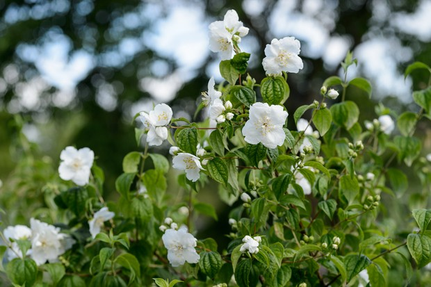 philadelphus-mexican-jewel-2