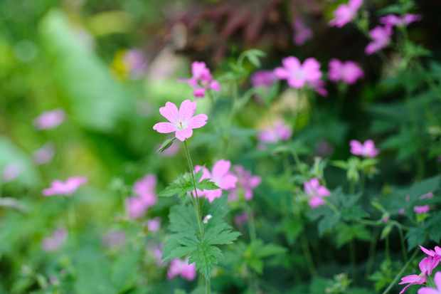 geranium-x-oxonianum-wargrave-pink-7