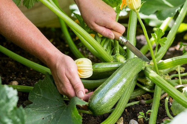 Harvesting a courgette with a knife