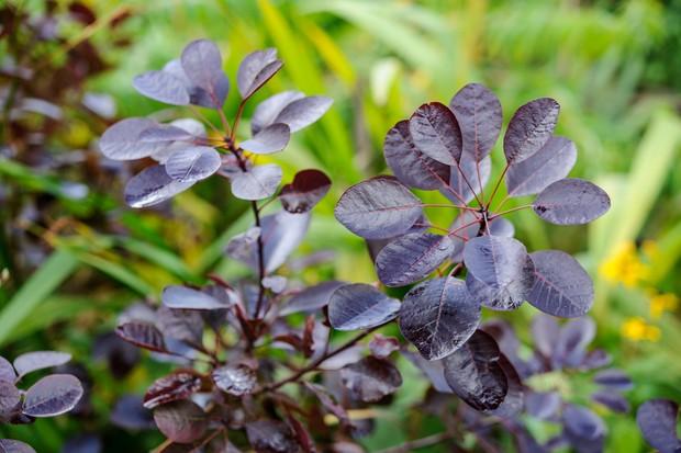 cotinus-purpureus-2