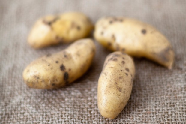 Long narrow 'Ratte' potatoes