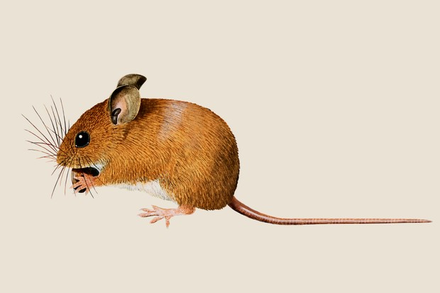 An illustration of a white-bellied, orange-brown wood mouse eating a nut