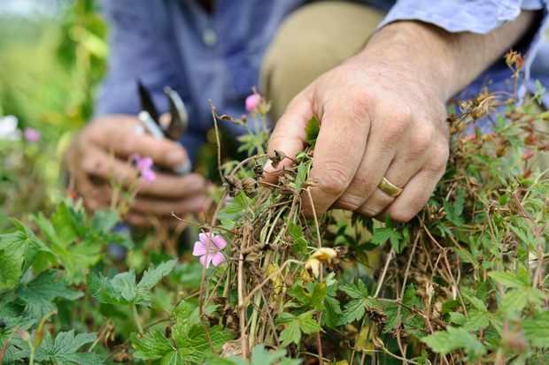 cutting-back-geraniums-2