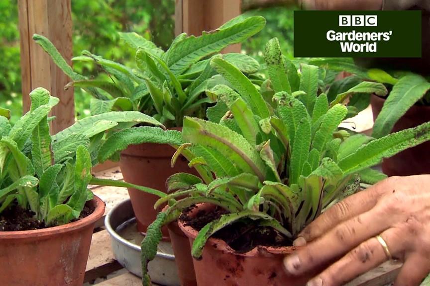 How to pot on streptocarpus video