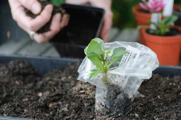 rooted-dahlia-cutting-in-compost-2