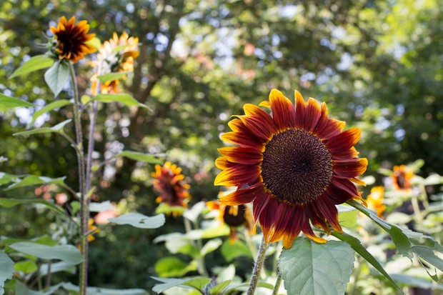 Golden-tipped chocolate brown sunflower 'Shock-o-Lat'
