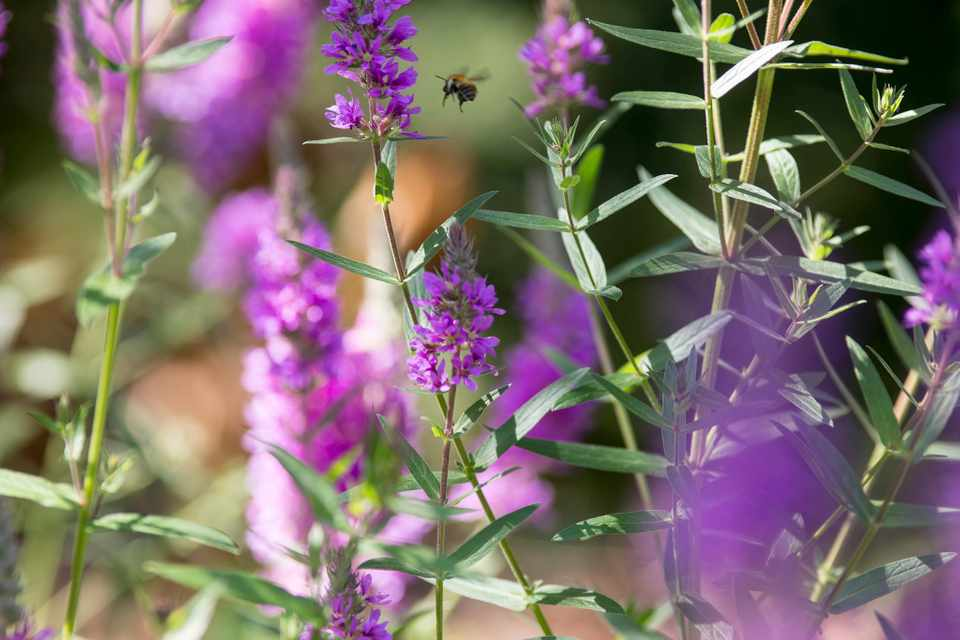 Purple loosestrife (Lythrum salicaria) flowers with bee