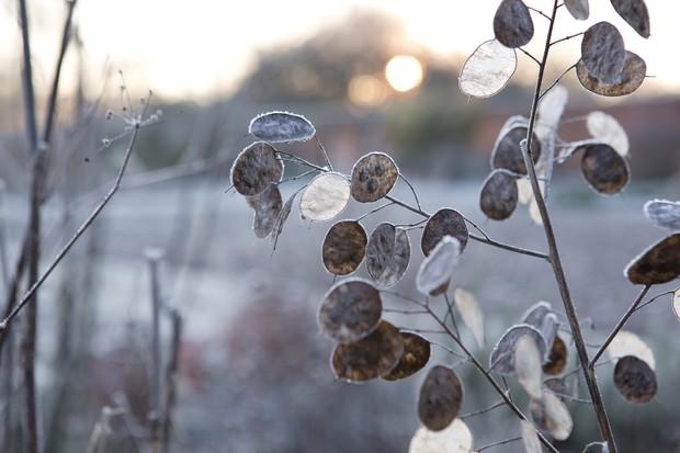 honesty-seedheads-in-winter-2