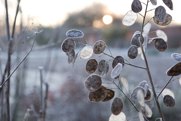 Honesty seedheads covered in frost