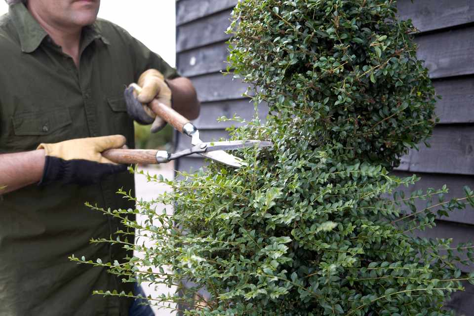 How to trim topiary