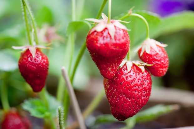 strawberry-mara-des-bois-2