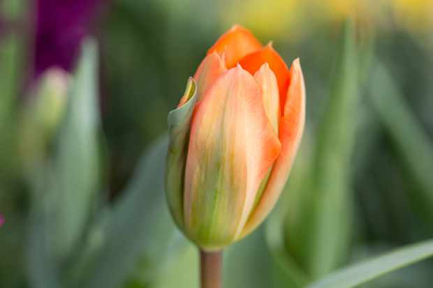 tulip-orange-emperor-4