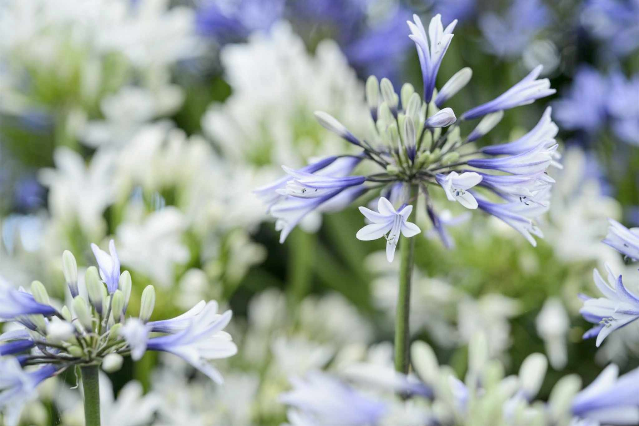 Get agapanthus flowers every year