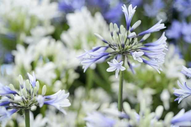 Blue-tinged white agapanthus blooms