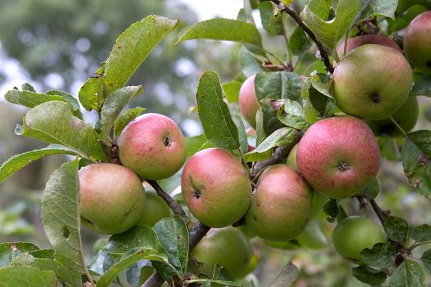 apples-on-a-tree-2