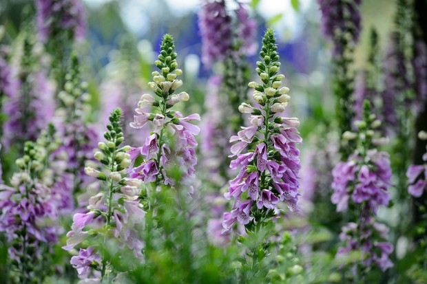 foxgloves-13
