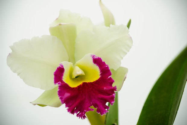 Crimson and cream bloom of orchid <em>Cattleya</em> 'Green Mist'