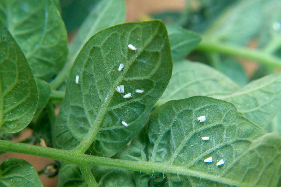 Whitefly on the underside of leaves