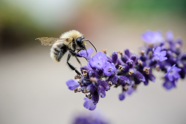 A bee drinking nectar from lavender flowers