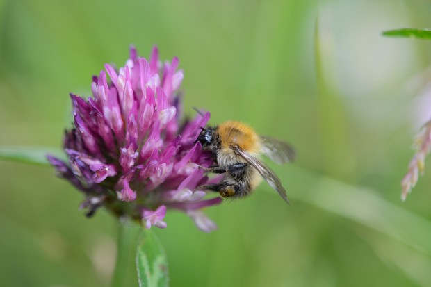 Red clover, Trifolium pratense with common carder bee, Bombus pascuorum