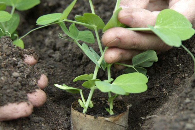 Planting out sugar-snap peas