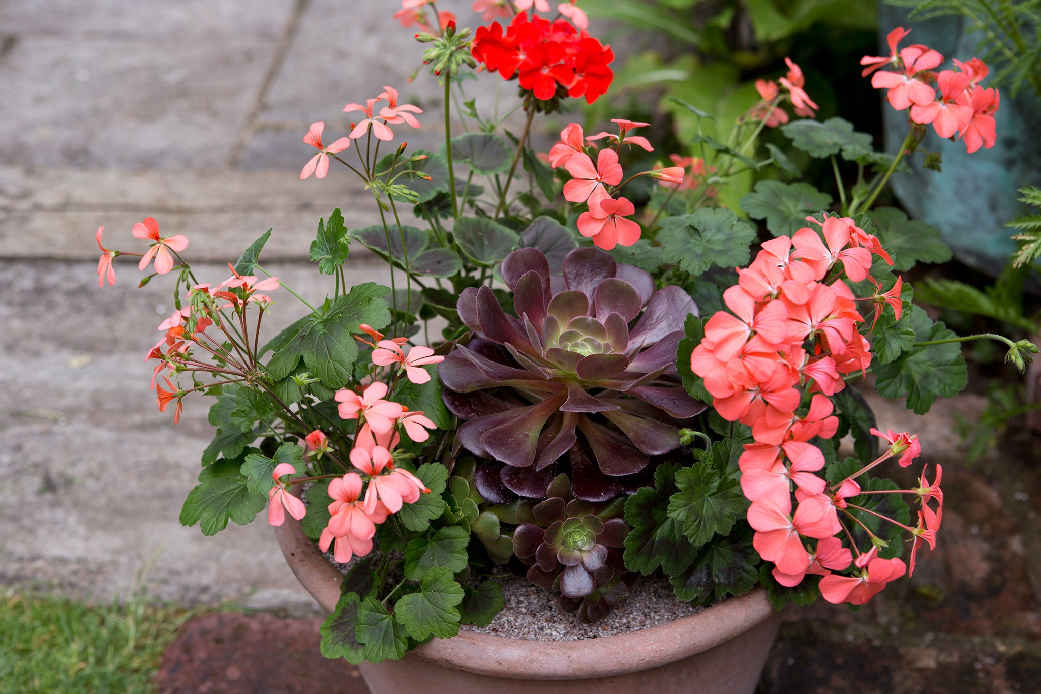 Pelargonium and aeonium pot
