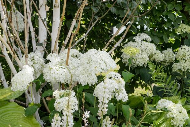 hydrangea-arborescens-annabelle-4