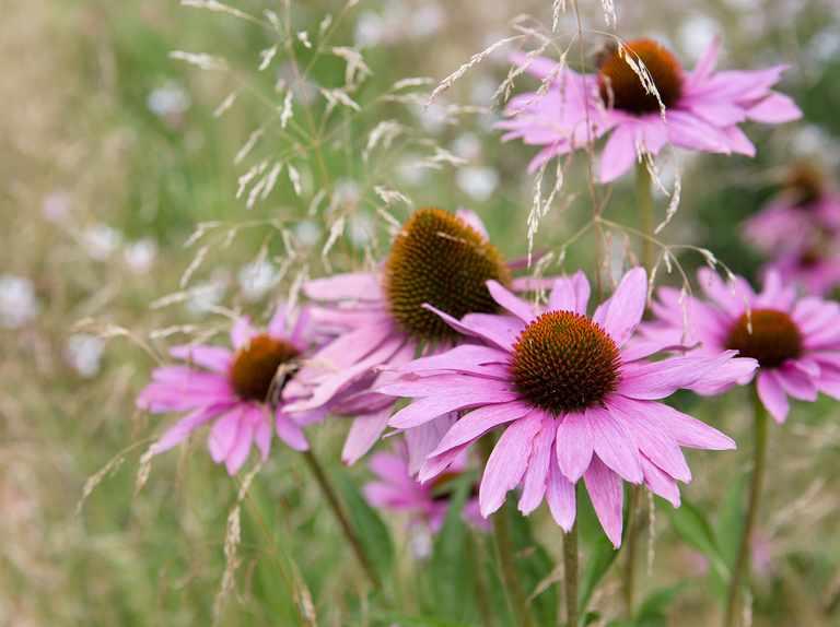 Five summer perennials for July